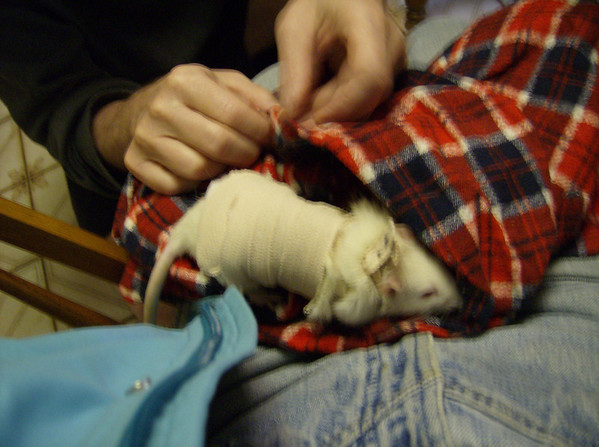 Example of a post op body wrap applied by a veterinarian on a rescued female who was spayed.  Thanks to Karen Borga for photo of rescued rat.