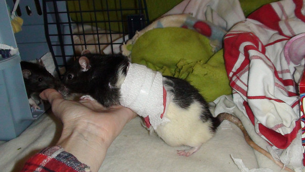Rat 4: Number Kid 34 in his 2nd post-op body wrap that he was able to remove. A better bandage that stayed on, but which resulted in his not eating well, is videoed in the Good Bandages gallery. See the video of this problem bandage in this gallery.