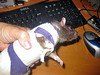 Bandage 1: This full body bandage was necessary initially because of the rat's large wound, but ended up being too restrictive around the shoulders, and the rat soiled herself with pee and poo. The owner ended up removing the bandage and luckily the rat did not bother her incision.