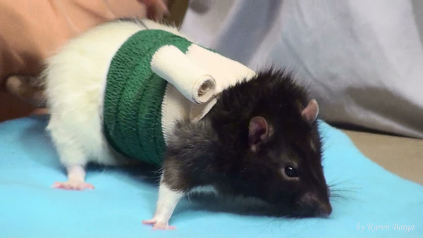 Rossi in his post op bandage. When wrapping at home, clip off the end of the adhesive tape that anchors the bandage to your rat's fur. A second row of adhesive tape is applied around the lower edge of this type of bandage.