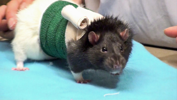 This is the video of Dr. Anthony Pilny and assistant Jennifer Padro demonstrating a body bandage wrap of pet rat Rossi.