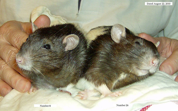 Retired Lab Rats Number 8 (left) and Number 26 (right).<br /> Born May 20, 2007.<br /> Number 8, who had a large tumor on his throat, was humanely euthanized by Dr. Pilny on August 23, 2010.<br /> Twenty-Six died at home of natural causes on September 1, 2010.