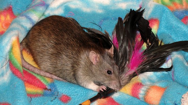 Bonny Bon-Bon in her feather-hunting mode. She's a little heavier in this photo. Even daily fierce feather-hunting adventures couldn't keep Bonny completely trim.   If you are viewing this from the Keywords page, click below to go to the gallery and view an Excel spreadsheet available to track rat weight loss.