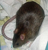 Bonny Rat at her healthiest of weights, after being tracked via an Excel spreadsheet Gwen developed. While she is just shy of the ideal sausage shape, she's at the best weight she could hope to achieve, having been obese when I got her at 9 weeks of age.   If you are viewing this from the Keywords page, click below to go to the gallery and view an Excel spreadsheet available to track rat weight loss.