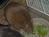 Bonny at a fatter time. Munching broccoli as part of an enforced diet.   If you are viewing this from the Keywords page, click below to go to the gallery and view an Excel spreadsheet available to track rat weight loss.
