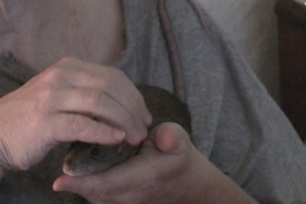 Bonny is delighted to snuggle in my hands. From a young age she tended to flop down and spread out like a puddle. Here she erupts in hiccups. Rats hiccup often from happiness or delight, but also in anger. Bonny once exploded in hiccuping when Melody threw her off her personal whole coconut. Bonny was furious and hiccuped wildly while she considered Melody's punishment. (I chose to scoop up Bonny and console her.) It seems like states of physiological excitement (read: happy or angry) can trigger the hiccups.