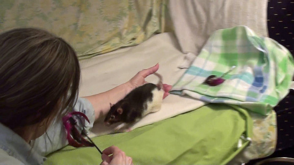"""Karen helps Eleven, who has total hind-leg paralysis, chase feathers. He is bright, bold, and dedicated to hunt down those feathers. Even with no use of their hind legs, enrichment for these rats is so important to help keep their spirits up. Karen gives Eleven a """"wheelbarrow"""" so he can move more like a normal rat in feather-hunting mode."""