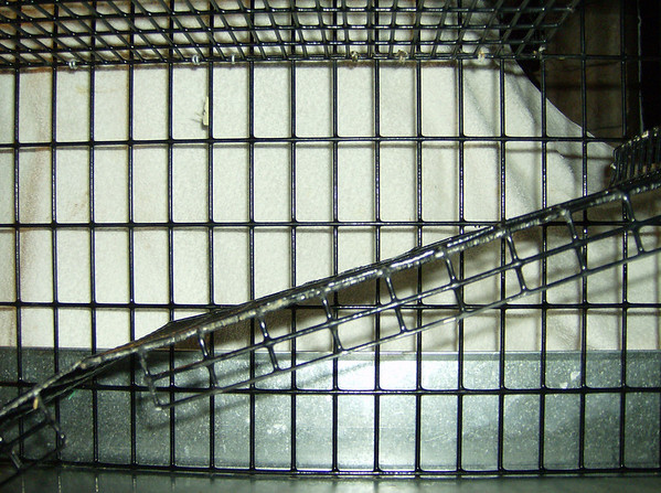 Side view Photo of gentle sloping, double wide ramp to help with hind leg degeneration problems.<br /> Fortunately, my rats have not injured themselves on the sharp corners.