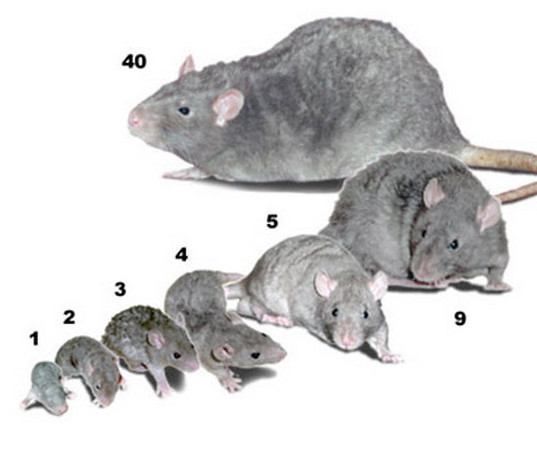 This image shows the sizes of rats, the numbers indicate age in weeks. Thanks to RattyRat for this picture.