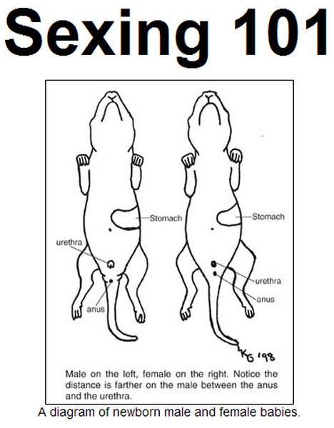 Rat sexing