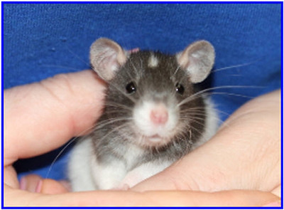 gallery baby rat growth from rattie world o comfort; baby rat growth photos;
