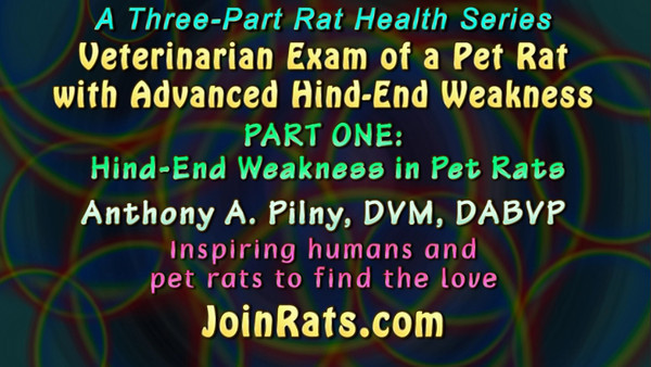 PART ONE: Hind-End Weakness in Pet Rats - Dr. Pilny discusses causes of, and answers questions related to, hind-end weakness. The rat being examined is Elevenee, who has advanced hind-end weakness.