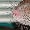 "If you are viewing this in the Keywords gallery, click below to visit the ""Healthy Squeaks or Sick Squeaks gallery, and view many embedded YouTube videos of sick and healthy rats making squeaking sounds, where these are categorized by levels of respiratory illness. Perhaps you can find your own rat's squeaking, which can help you decide to have your rat evaluated for respiratory illness. This photograph is the Nose of Bonny Bon-Bon, who died in January 2010, and while the final cause of death was never determined, she did make problem noises."