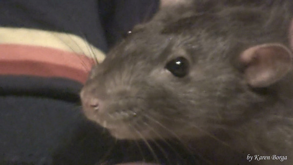 Retired Lab Rat, Sweet Crabcake, a kind and gentle pet rat.