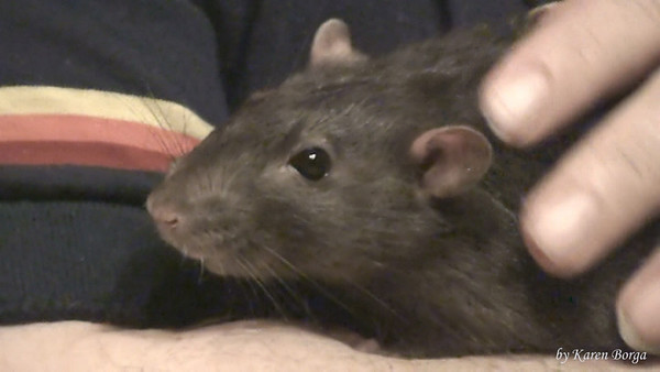 Sweet Crabcake, a kind and gentle pet rat.