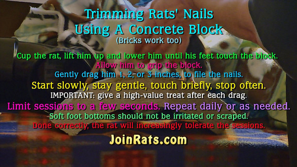 Do you have trouble seeing your rats nails up close, to see where to trim with clippers? Do you worry about clipping into the quick, causing bleeding that is difficult to stop? Do you have squirmy rats who think the idea of a dremel tool equates to a nuclear explosion? Maybe using a concrete block, or bricks, is the solution for you.