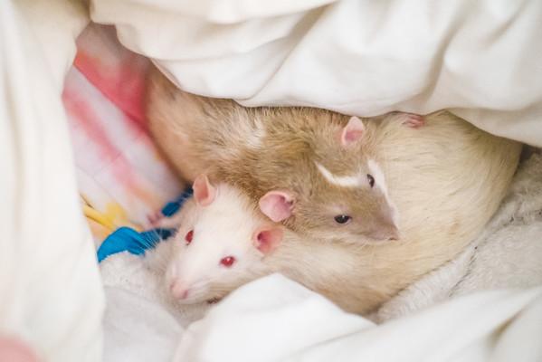 Quilt rats. In polish : Pieżynowce :)