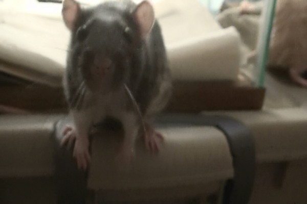 """Chancy (""""Chance-ee""""), bold black berkie rat, decides she's going to figure out the camera."""