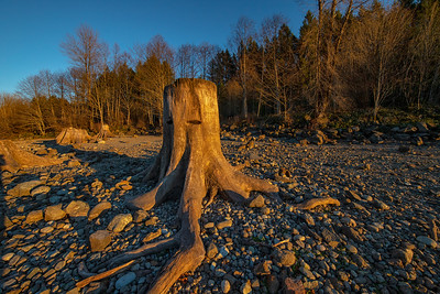 Ancient Stump Rattlesnake Lake Bank Winter Trees Background 1-13-19