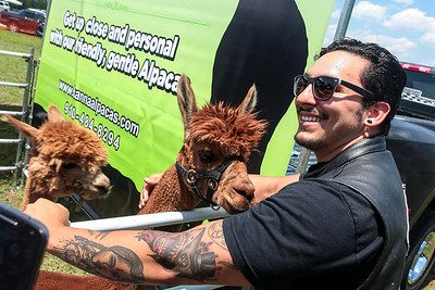Ivan Orona pets an alpaca that took a shine to him as Cape Beard: Follicles of Freedom holds their 6th annual Pig Pickin' benefiting the Autism Society of Cumberland County at Fort Bragg Harley Davidson on Saturday, May 27, 2017. [Raul F. Rubiera/The Fayetteville Observer]