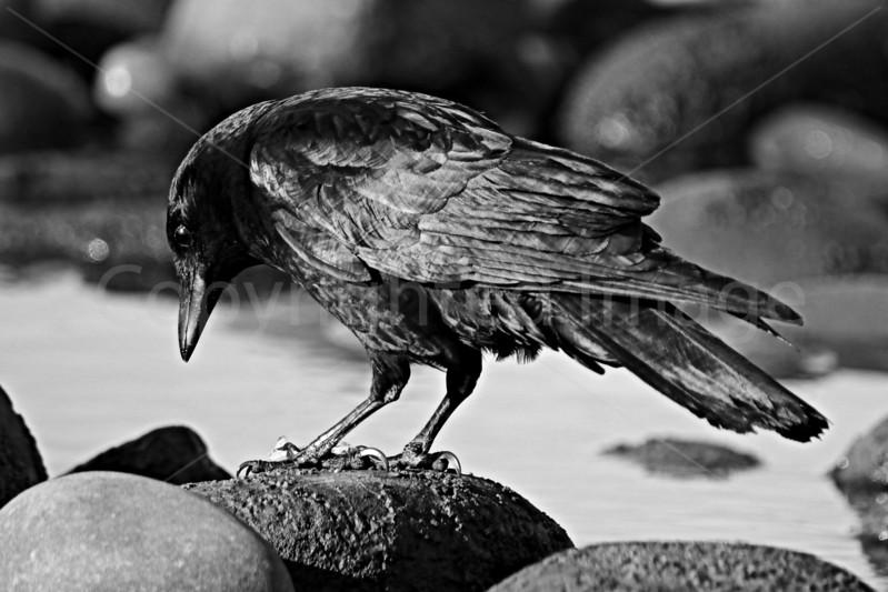 Corvus Wonder