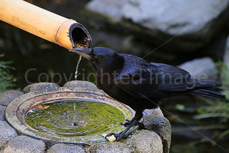Raven at Bamboo Fountain