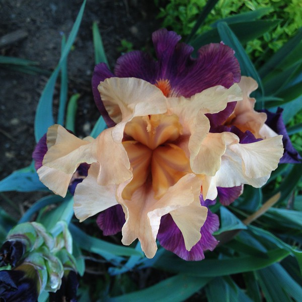 iris-jeanne-crop