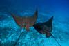 spotted eagle rays, Aetobatus narinari, Hawaii ( Central Pacific Ocean )