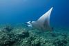 manta ray, Manta birostris, Keahole Point, Hawaii ( Central Pacific Ocean )