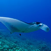 manta ray, Manta birostris, being cleaned by saddle wrasse, Thalassoma duperrey, an endemic fish to Hawaii , Keahole Point, Hawaii ( Central Pacific Ocean )