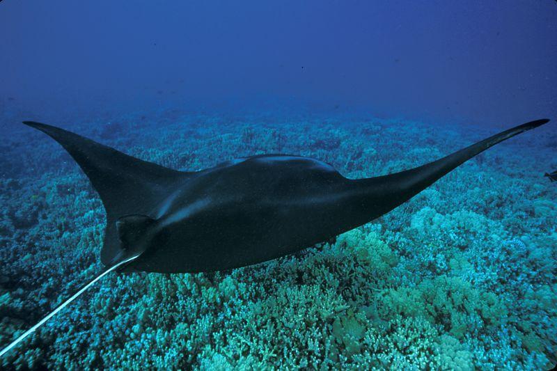 manta ray, Manta birostris, <br /> Honokohau, Big Island of Hawaii <br /> ( Central Pacific Ocean )<br /> 1