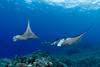 manta rays in a possible courtship ritual ( female in front followed by four males ), Manta birostris, Big Island of Hawaii ( Central Pacific Ocean )