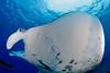 manta ray, Manta birostris, passes directly overhead, Big Island of Hawaii ( Central Pacific Ocean )