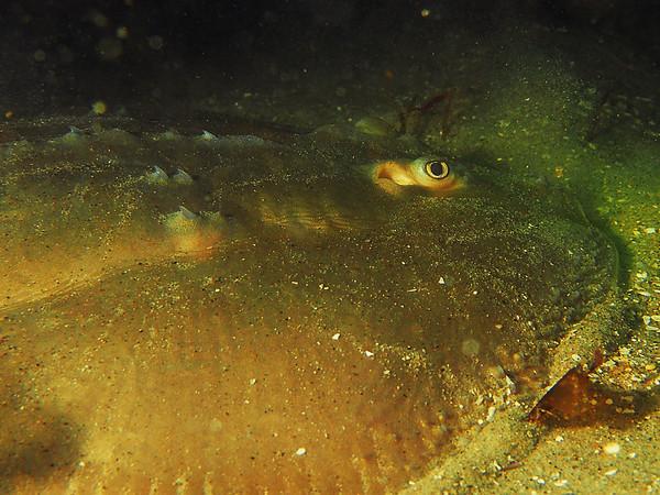 Platyrhinoidis triseriata (thornback ray)