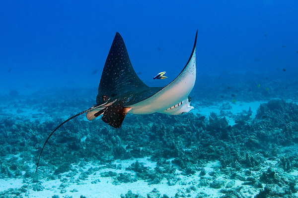 spotted eagle ray, Aetobatus narinari, hovers over the sea floor while being cleaned by pair of Hawaiian cleaner wrasse, Labroides phthirophagus, Hawaii <br /> ( Central Pacific Ocean )