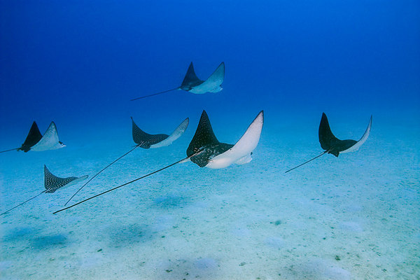 formation of spotted eagle rays, Aetobatus narinari, Hawaii <br /> ( Central Pacific Ocean )