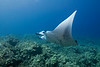 manta ray, Manta birostris, Keahole Point, Hawaii ( Central Pacific Ocean )