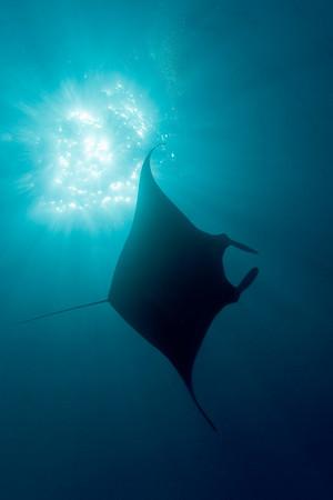 manta ray, Manta birostris, Big Island of Hawaii ( Central Pacific Ocean )