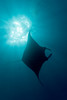 manta ray, Manta birostris, Big Island of Hawaii ( Central Pacific Ocean )