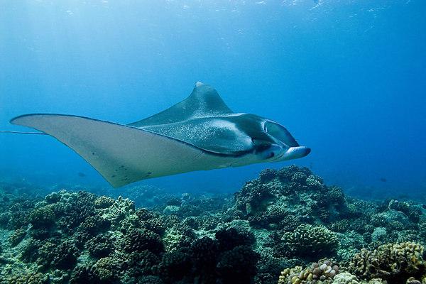 manta ray, Manta birostris, <br /> Big Island of Hawaii <br /> ( Central Pacific Ocean )