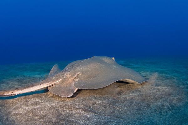 broad stingray, brown stingray or lupe (H), Dasyatis lata, Hawaii ( Central Pacific Ocean )