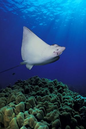 spotted eagle ray, Aetobatus narinari, Hawaii <br /> ( Central Pacific Ocean ) DC<br /> 3