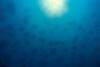 huge school of Munk's devil ray or mobula, Mobula munkiana, leaps into the air, Cabo Pulmo, Mexico ( Sea of Cortez )