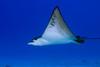spotted eagle ray, Aetobatus narinari, Hawaii ( Central Pacific Ocean )