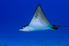 spotted eagle ray, Aetobatus narinari, Hawaii ( Central Pacific Ocean )