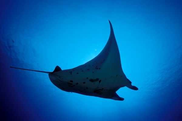 manta ray, Manta birostris, <br /> Honokohau, Big Island of Hawaii <br /> ( Central Pacific Ocean )<br /> 2