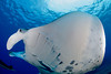 manta ray, Manta birostris, passes directly overhead, Big Island of Hawaii ( Central Pacific Ocean )