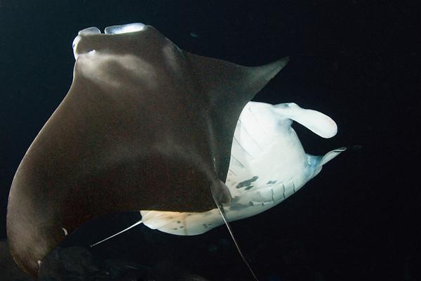 manta rays, Manta birostris, at night, Big Island of Hawaii ( Central Pacific Ocean )