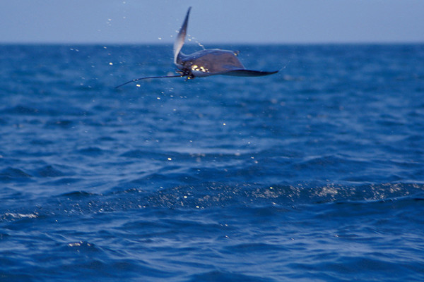 Munk's devil ray or mobula, Mobula munkiana, leaps into the air, Cabo Pulmo, Mexico ( Sea of Cortez )