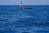 Munk's devil ray or mobula, Mobula munkiana, leaps into the air, Cabo Pulmo, Mexico ( Sea of Cortez )